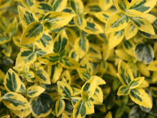 Benved - Euonymus 'Emerald Gold'